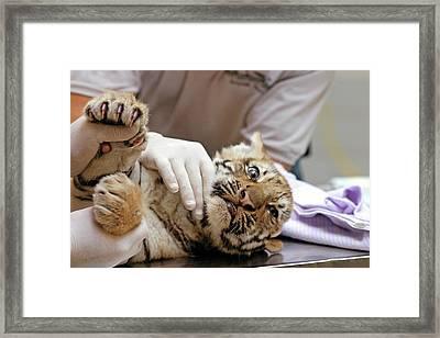 Vets Examining An Amur Tiger Cub Framed Print by Jim West