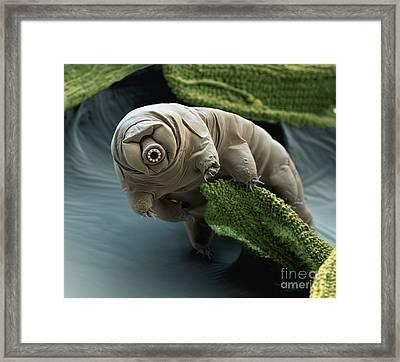 Water Bear Framed Print by Eye of Science
