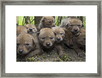 4 Week Old Wild Coyote Pups In Chicago Framed Print by Suzi Eszterhas