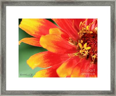 Zinnia From The Whirligig Mix Framed Print by J McCombie