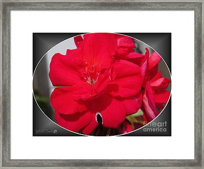 Zonal Geranium Named Candy Cherry Framed Print by J McCombie