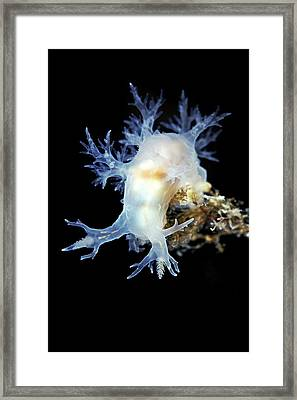 Nudibranch Framed Print by Alexander Semenov