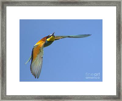 Abejaruco Framed Print by Guido Montanes Castillo