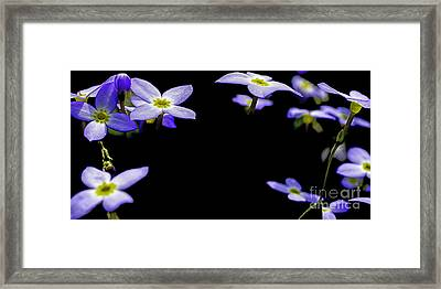 Bluets Framed Print by Thomas R Fletcher