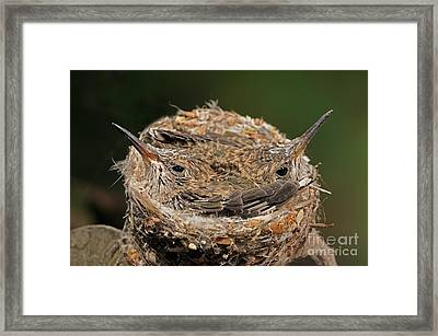 Broad Billed Hummingbird Framed Print by Scott Linstead