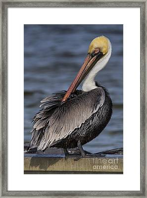 Brown Pelican Framed Print by Twenty Two North Photography