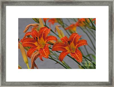Day Lilly Framed Print by William Norton