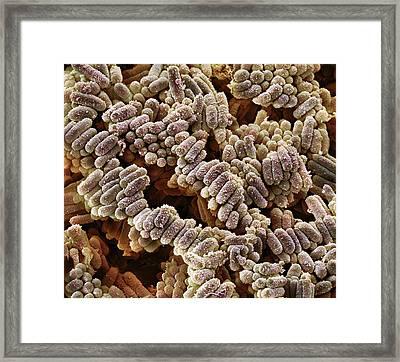 E. Coli Bacteria Framed Print by Steve Gschmeissner