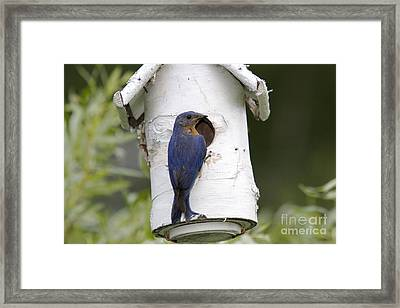 Eastern Bluebird Framed Print by Linda Freshwaters Arndt