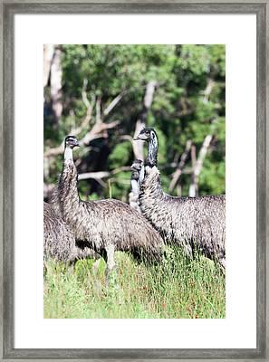 Emu (dromaius Novaehollandiae Framed Print by Martin Zwick