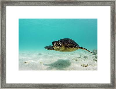 Galapagos Green Sea Turtle (chelonia Framed Print by Pete Oxford