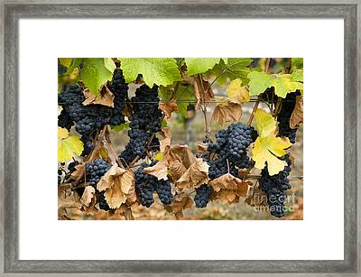 Gamay Noir Grapes Framed Print by Kevin Miller
