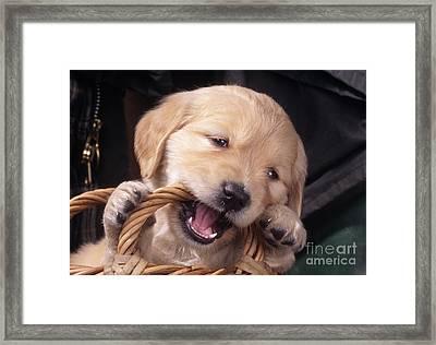 Golden Retriever Puppy Framed Print by John Daniels