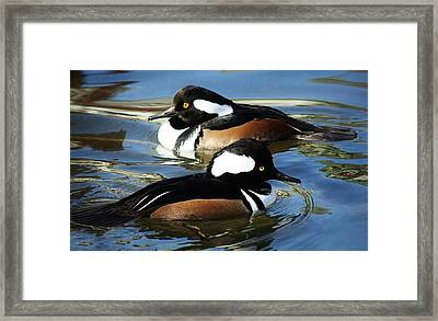 Hooded Merganser Framed Print by Paulette Thomas