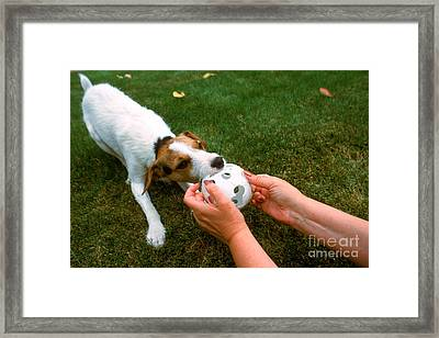 Jack Russell Terrier Framed Print by Jim Corwin