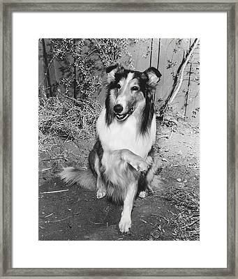 Lassie Framed Print by Retro Images Archive
