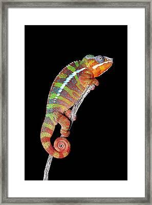 Panther Chameleon Framed Print by Robert Jensen