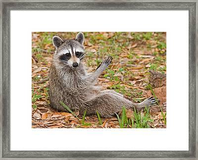 Raccoon Framed Print by Millard H. Sharp