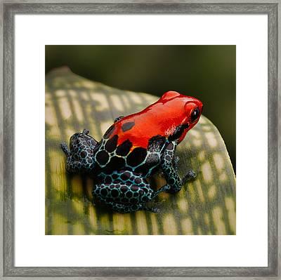 Red Poison Dart Frog Framed Print by Dirk Ercken