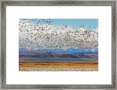 Snow Geese During Spring Migration Framed Print by Chuck Haney