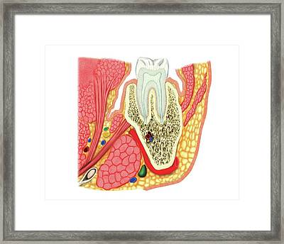 Structure Of A Molar Framed Print by Asklepios Medical Atlas