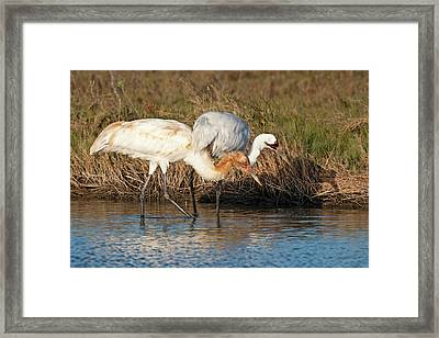 Whooping Crane (grus Americana Framed Print by Larry Ditto