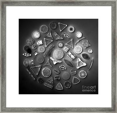 50 Diatom Species Arranged  Framed Print by Science Source