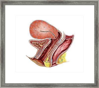 Female Genital System Framed Print by Asklepios Medical Atlas