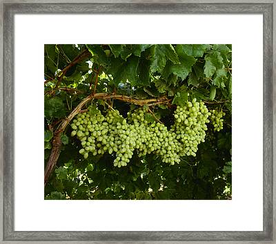 Agriculture - Mature, Harvest Ready Framed Print by Ed Young