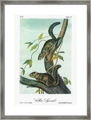 Audubon Squirrel Framed Print by Granger