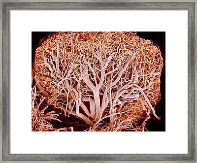 Blood Vessels Of A Lymph Node Framed Print by Susumu Nishinaga