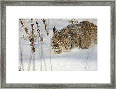 Bobcat Framed Print by John Shaw