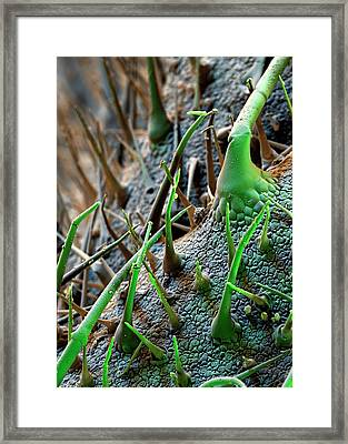 Borage Trichomes Framed Print by Stefan Diller