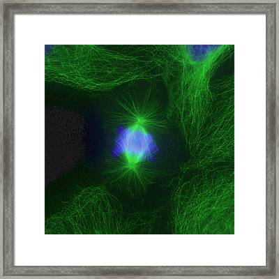 Cell Division Fluorescent Micrograph Framed Print by Dr Torsten Wittmann