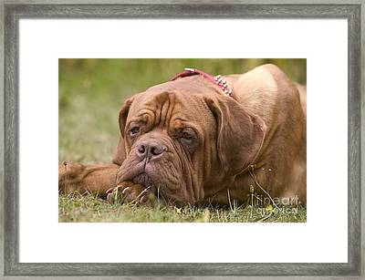 Dogue De Bordeaux Framed Print by Jean-Michel Labat