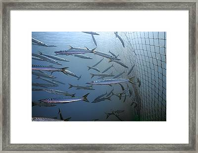 European Barracuda Framed Print by Science Photo Library