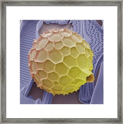 Foraminiferan Framed Print by Steve Gschmeissner