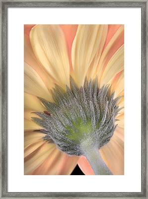 Gerber Daisy Framed Print by Robert Jensen