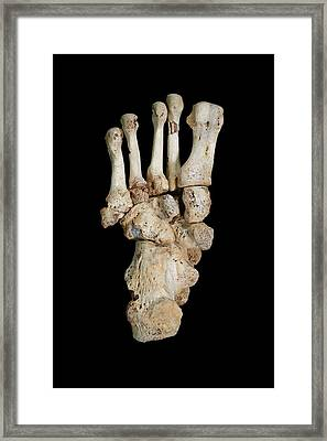 Homo Heidelbergensis Fossil Foot Bones Framed Print by Javier Trueba/msf