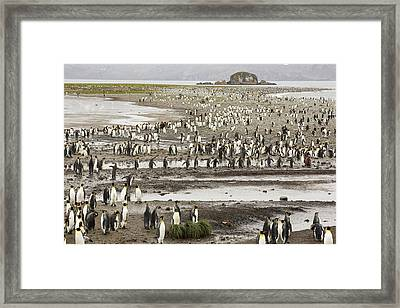 King Penguins On Salisbury Plain Framed Print by Ashley Cooper