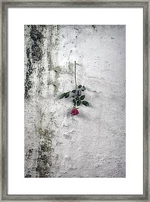 Red Rose Framed Print by Joana Kruse