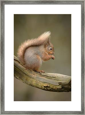 Red Squirrel Framed Print by Andy Astbury