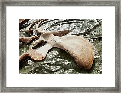 Sperm Whale Skeleton Preparation Framed Print by Thomas Fredberg