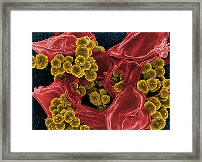 Staphylococcus Aureus Bacteria, Sem Framed Print by Science Source