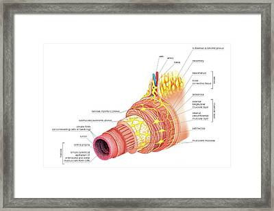 Structure Of Intestinal Tract Framed Print by Asklepios Medical Atlas