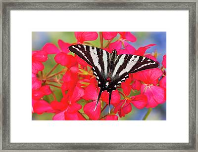 Zebra Swallowtail North American Framed Print by Darrell Gulin