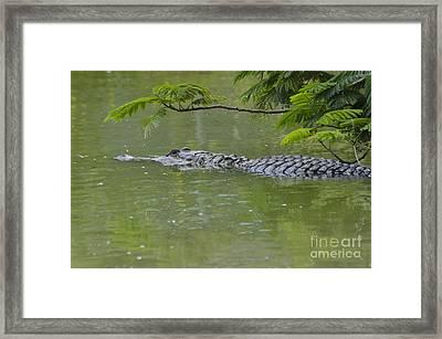 American Alligator Framed Print by Mark Newman