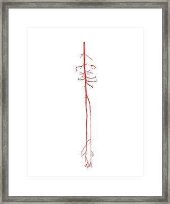 Arterial System Of The Leg Framed Print by Asklepios Medical Atlas