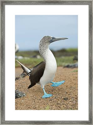 Blue-footed Booby Courtship Dance Framed Print by Tui De Roy