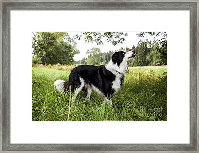 Border Collie In The Nature Framed Print by Regina Koch
